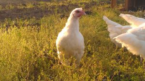 A young Bresse hen