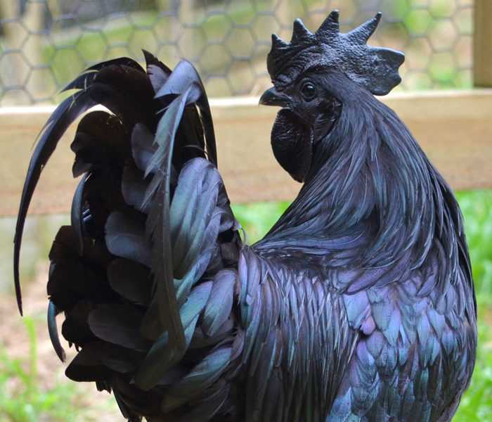 Back in Black…The Mystical Ayam Cemani