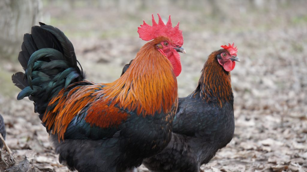 Black Copper Marans