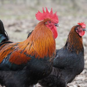 Black Copper Marans trio